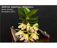 Sedirea japonica Minmaru