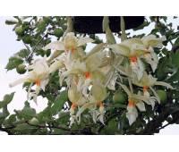 Stanhopea inodora