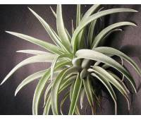 Tillandsia harrisii '30'