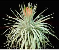 "Tillandsia mauryana ""New"""