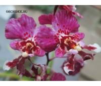 Tolumnia Bright Pink Impress