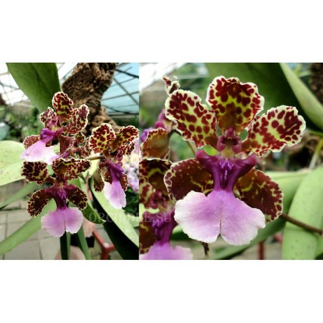 Trichocentrum Lanceanum