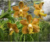 Vanda Golden Doubloon x Vanda denisoniana
