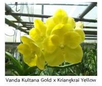 Vanda Kultana Gold x Kriangkrai Yellow