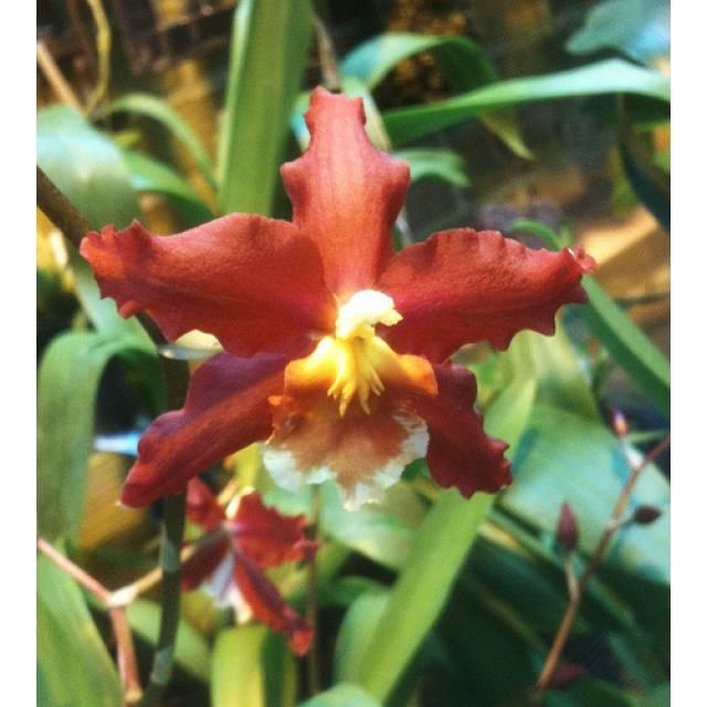 Wilsonara Pacific Panache hybrid