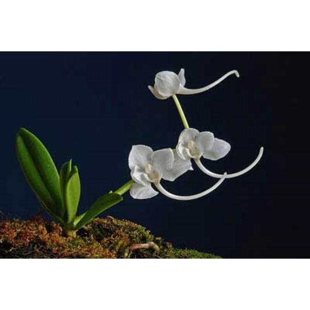 Amesiella philippinensis