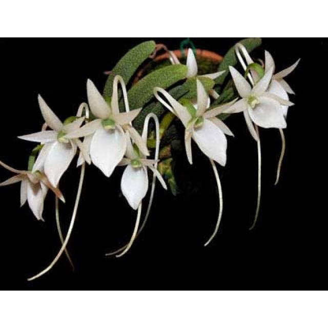 Angraecum aloifolium