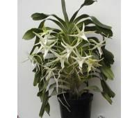 Angraecum Veitchii (eburneum x sesquipedale)