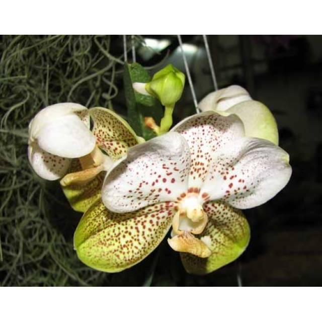 Ascocenda Carmine Spot x Vanda Pranermprai х Ascocenda Phairot