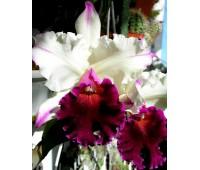 Brassolaeliocattleya Ann Cleo