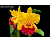 Brassolaeliocattleya Chunyeah #17