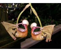 Coryanthes feildingii