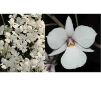 Dendrobium fytchianum