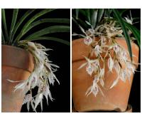 Trichopilia subulata