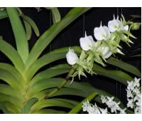 Angraecum eburneum