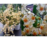 Oncidium Tiny Twinkle 'White Fragrance'