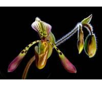 Paphiopedilum haynaldianum x sanderianum