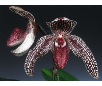Paphiopedilum godefroyae var. ang-thong x stonei