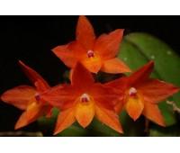 Sophronitis cernua 'Blumeninsel'