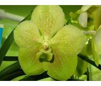 Vanda Kultana Green Gold